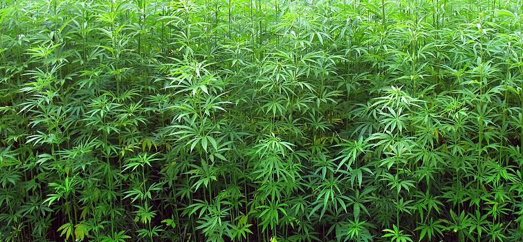 Pure or landrace cannabis seeds