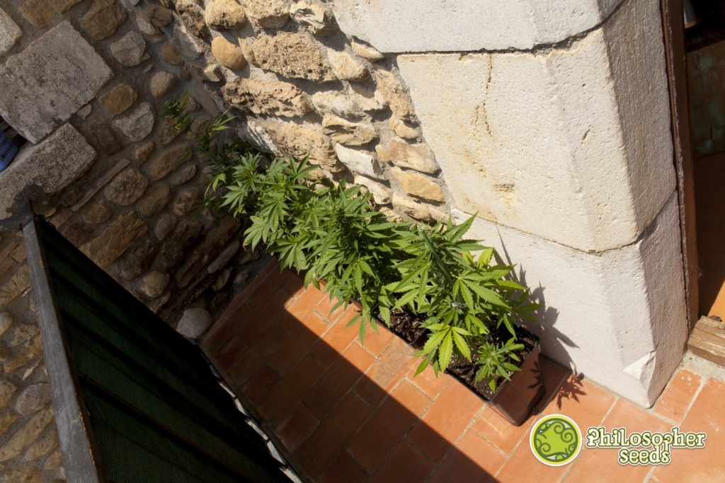 Small outdoor grow space with a few autoflowering varieties in pots