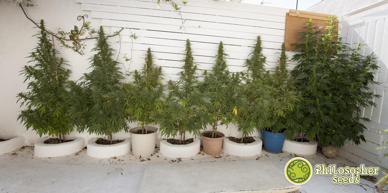 Pianifica una coltivazione di marijuana all'aperto