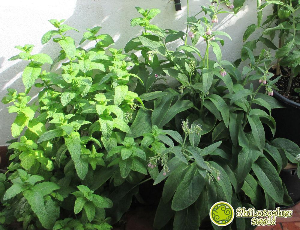 La menta e la consolida, una pianta repellente e l'altra pianta acompagnarice, due alleate della cannabis