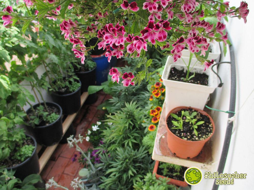 Piante autofiorenti di Philosopher seeds integrati in una policoltura, un intero giardino commestibile e che si possa fumare