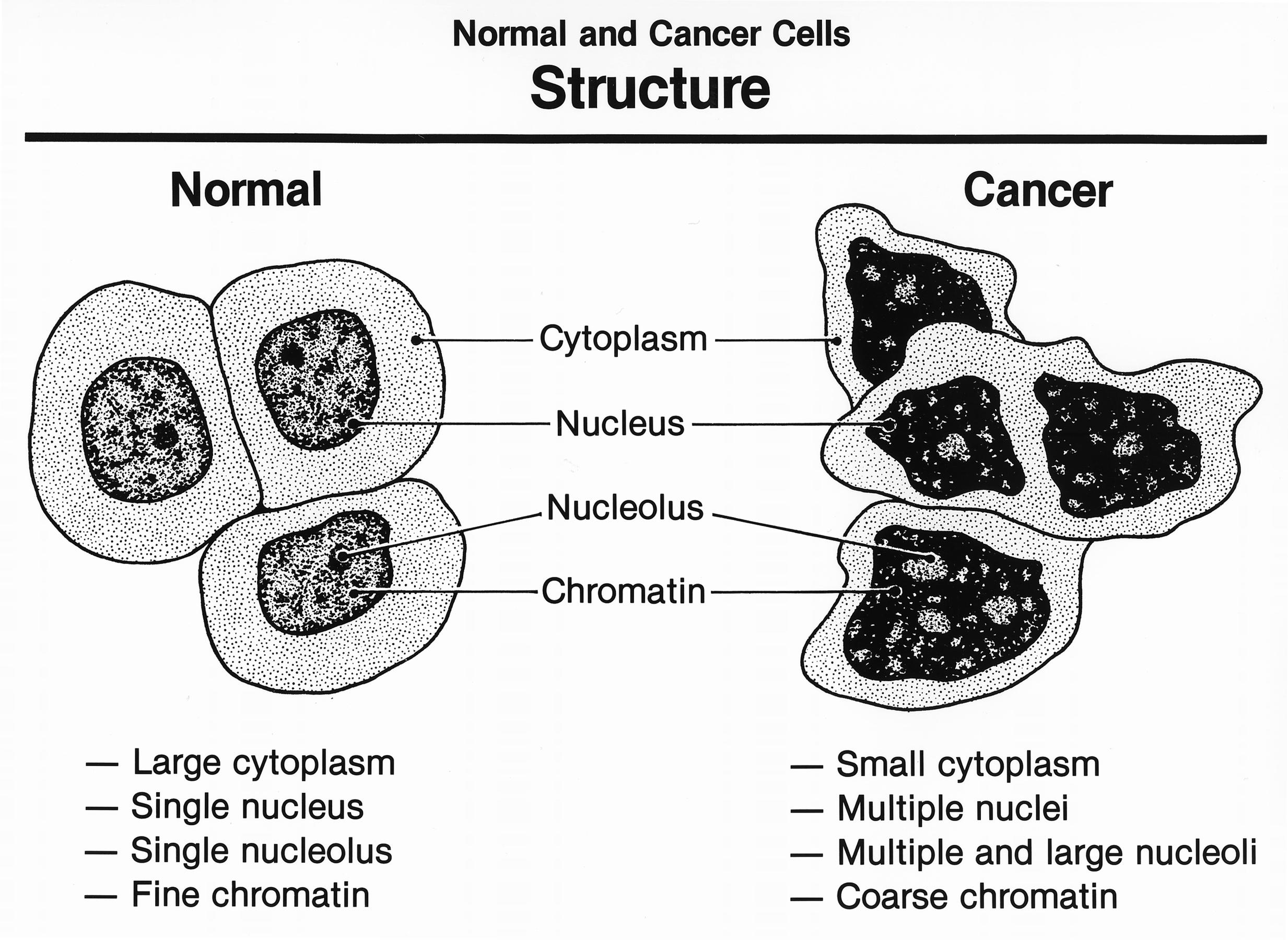 Cèl·lules normals i cèl·lules canceroses