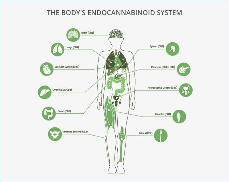 The endocannabinoid system. Image: cannainsider.com