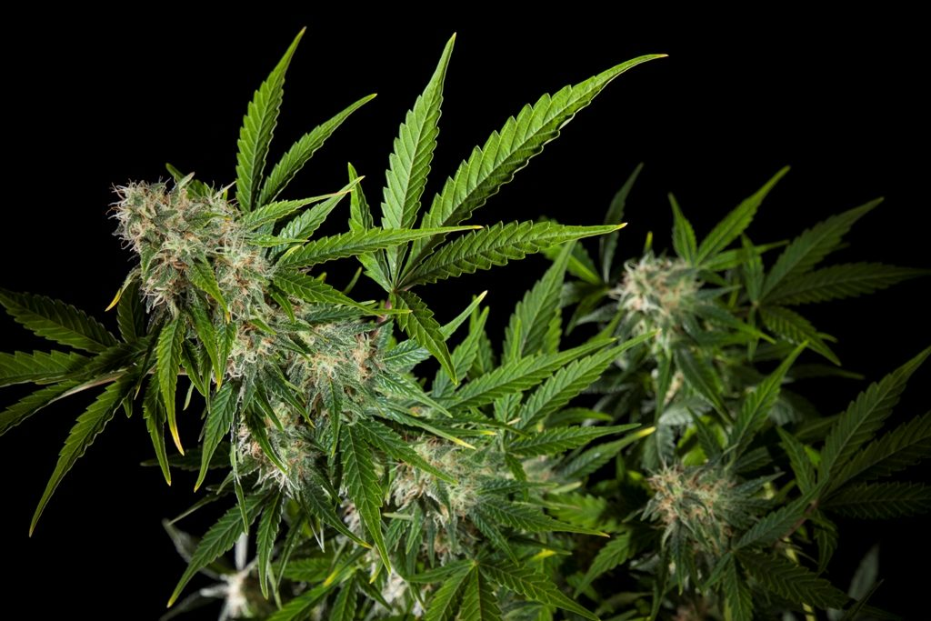 Frequent doubts about growing Autoflowering Cannabis   Blog