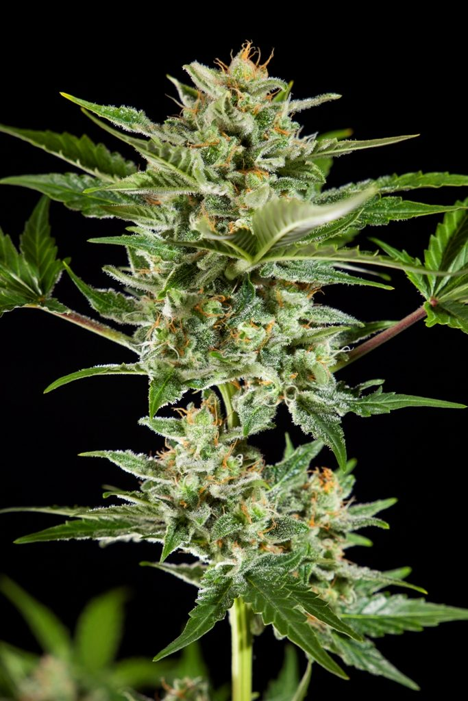 Fraggle Skunk Auto, highly resinous