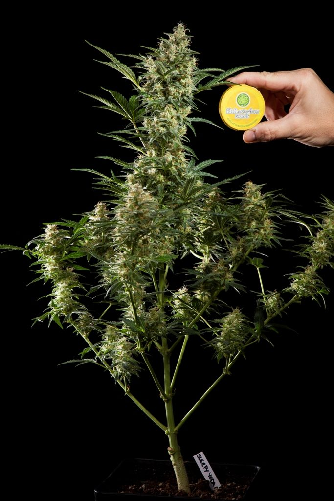 Frequent doubts about growing Autoflowering Cannabis | Blog
