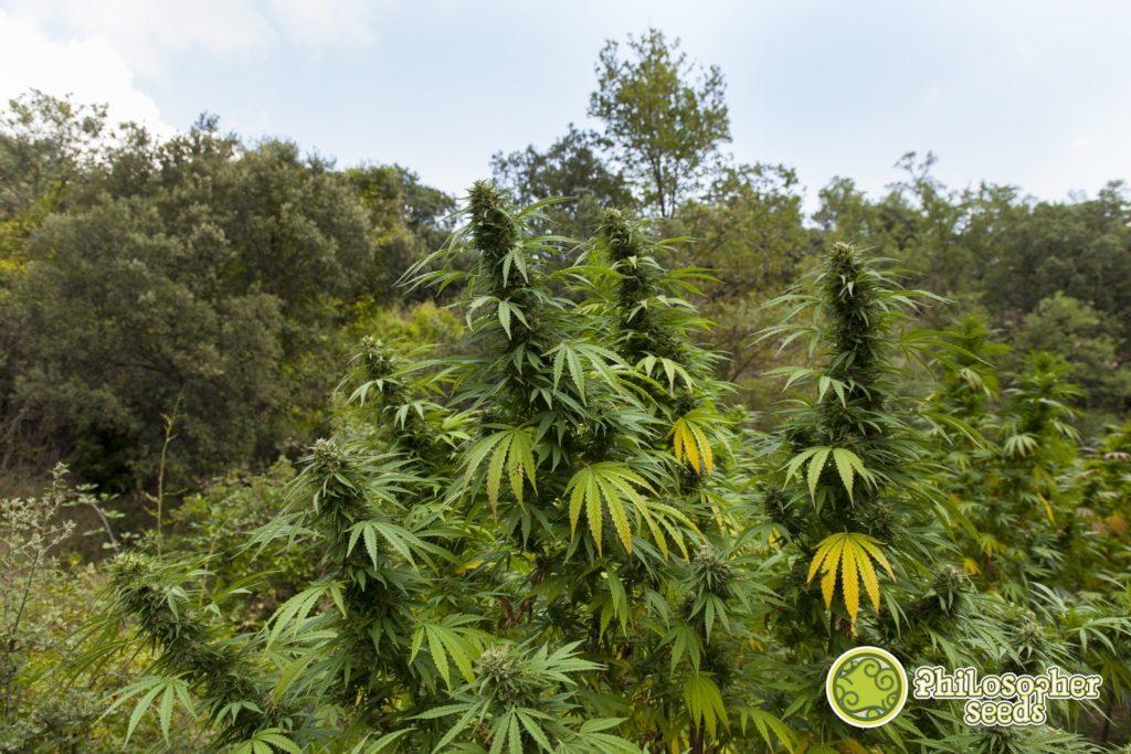 Planta de cànnabis en exterior