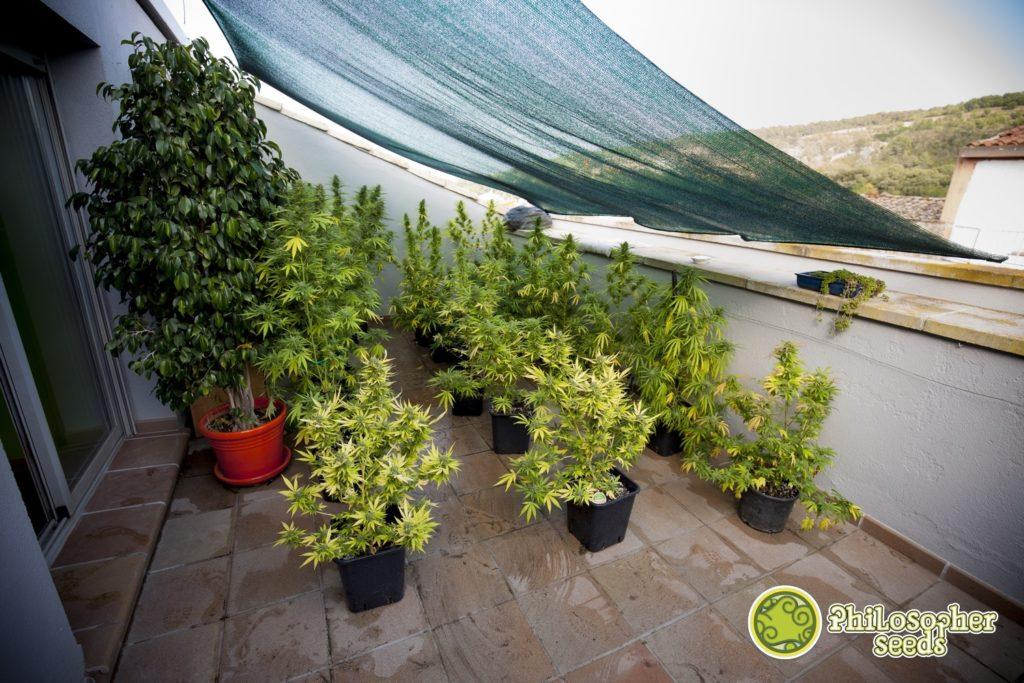Cultivo exterior de marihuana bien optimizado