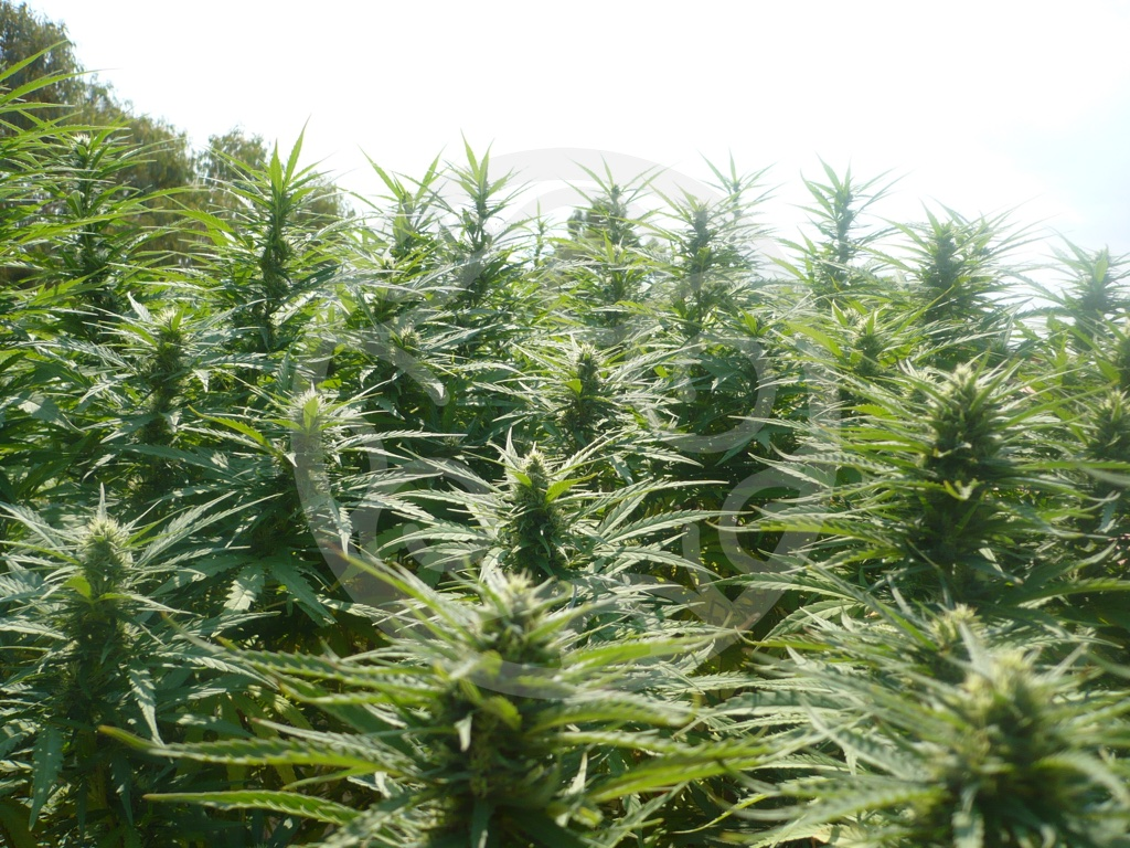 Cultivo de marihuana de guerrilla