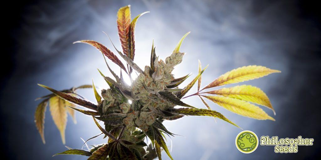 Marihuana Fruity Jack
