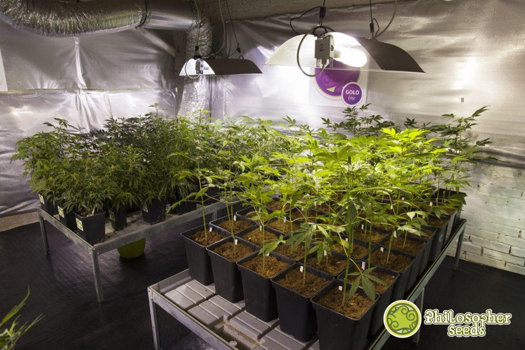 Cultivo de esquejes de marihuana