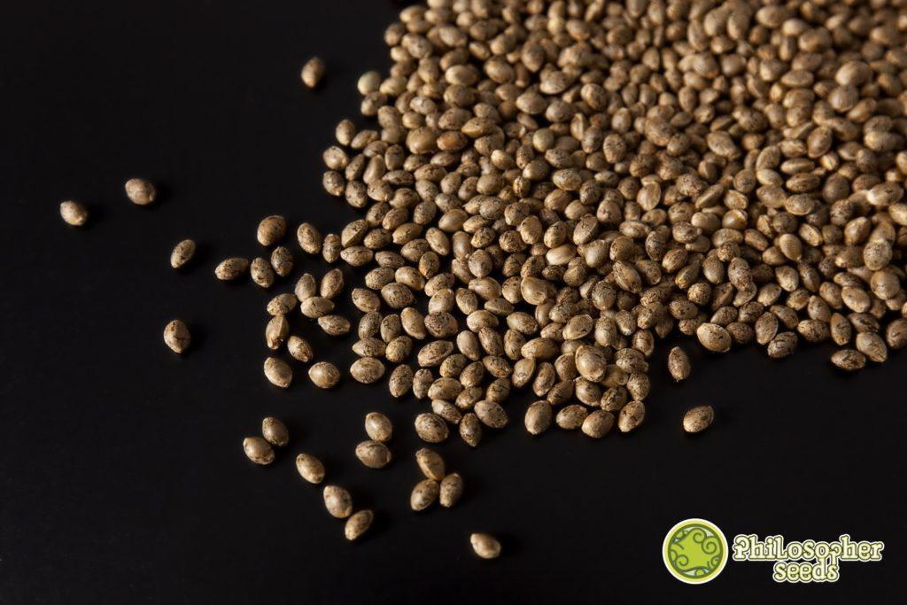 Semillas de marihuana de Philosopher Seeds