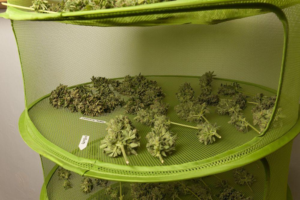 Un séchoir en filet est une bonne option pour sécher les grappes de fleurs de cannabis