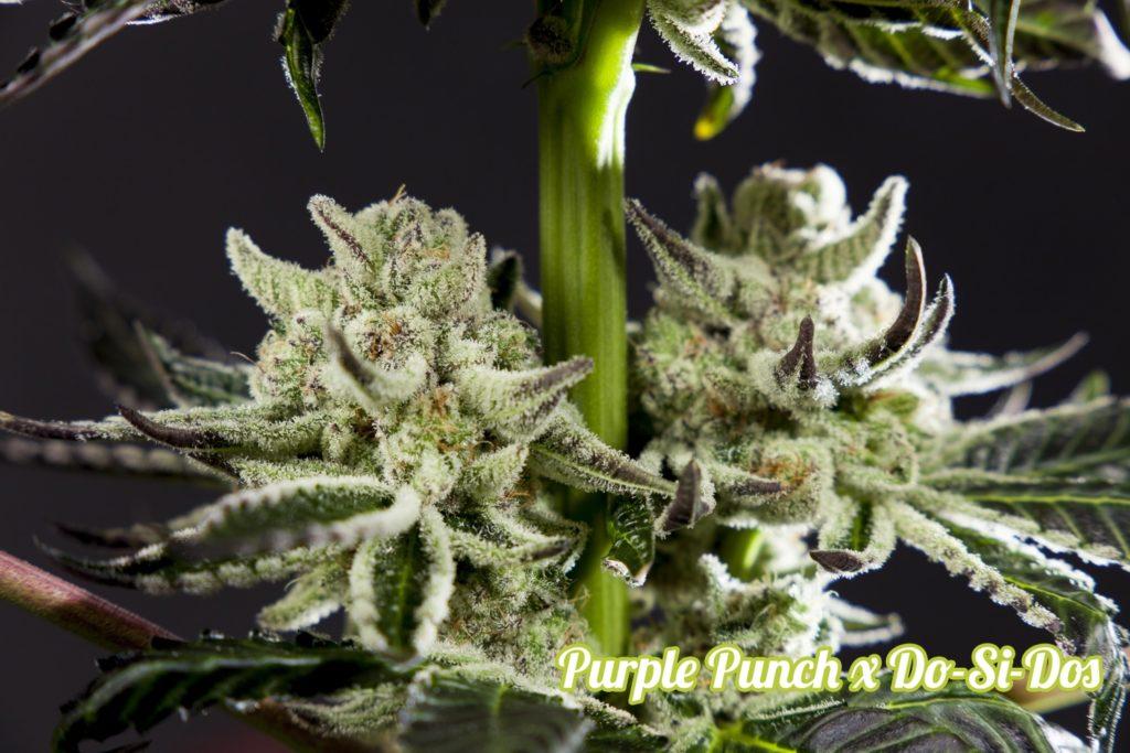 Purple Punch x Do-si-Dos carregada de resina