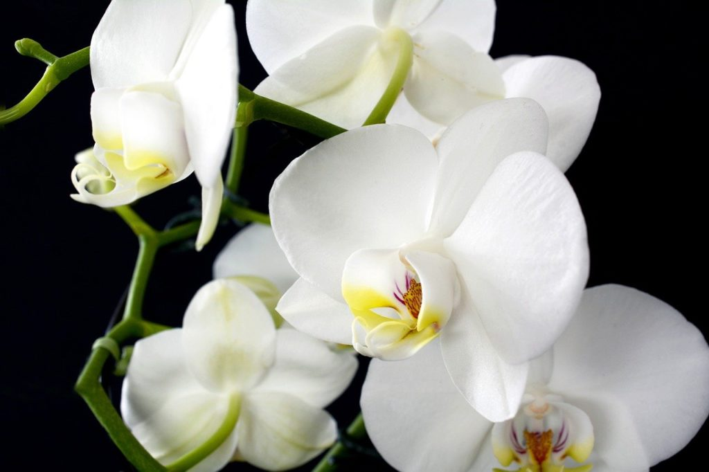 Les orquídies necessiten de fongs beneficiosos per a sobreviure